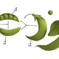 Portalul de cautare Google aniverseaza 189 de ani de la nasterea lui Gregor Mendel, fondatorul geneticii moderne